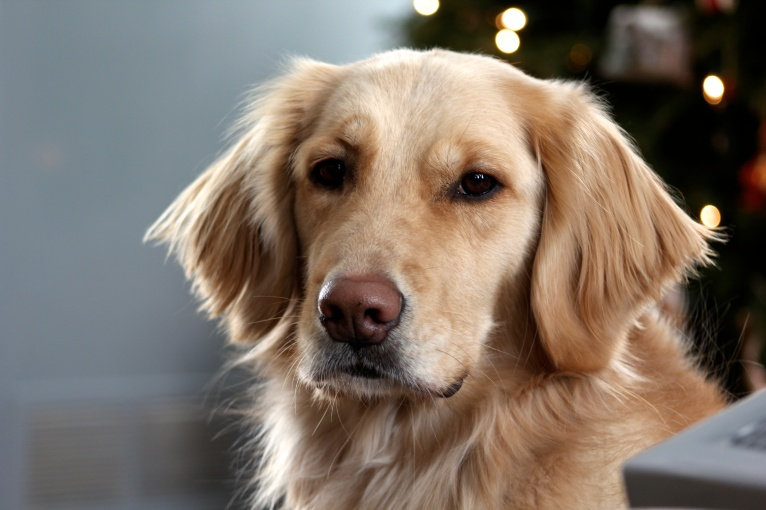 Cali, 2 yr. old female golden retriever. She is the friendliest, happiest dog, and I hope to do therapy with her in the future!