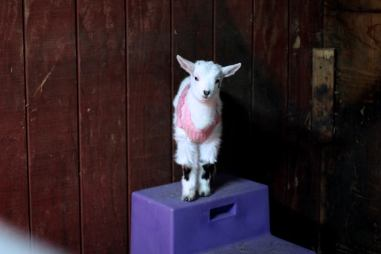 First baby goat born on the farm, Noel