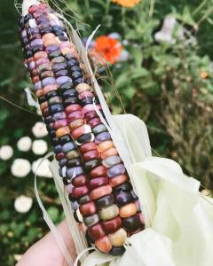 Glass gem corn grown in three sisters garden. using natural supports