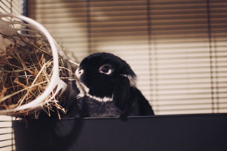 Holland Lop Bunny Eating Hay IKEA Hay Rack