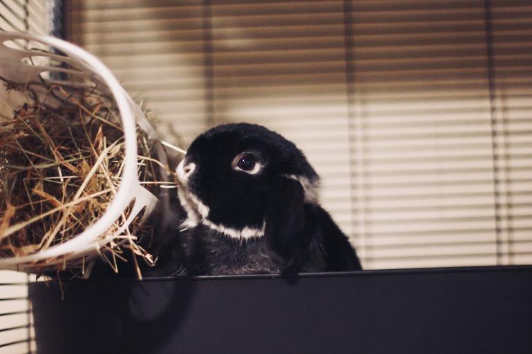 Holland Lop Bunny Eating Hay IKEA Hay Rack