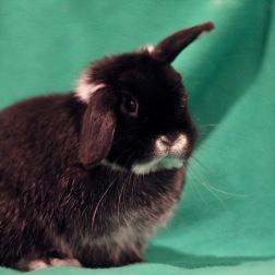 Bo (Bowtie), Holland Lop bunny.