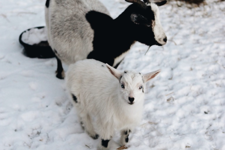 Baby goat on the homestead