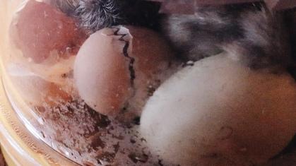 Hatching Eggs in a Brinsea Incubator