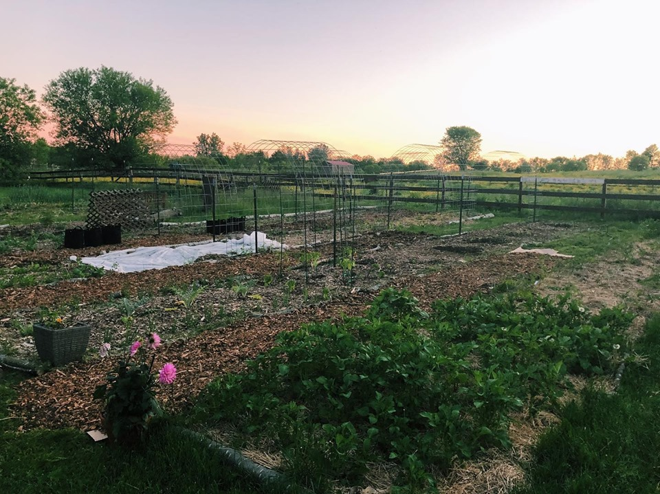 no till garden with potatoes growing in ruth stout bed