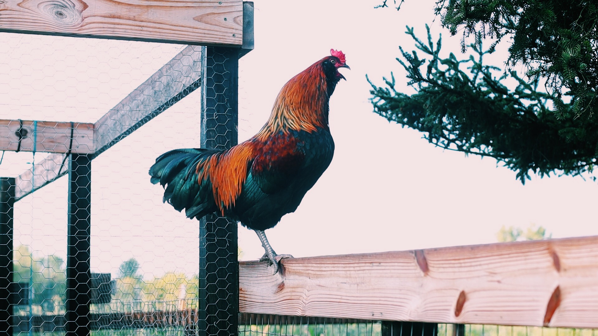how to handle aggression in roosters