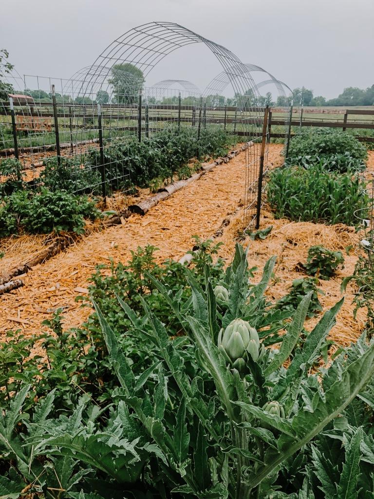 garden lessons a perennial artichoke